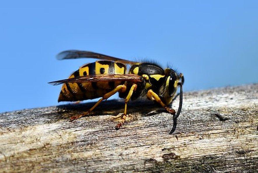 verdelging van wespen